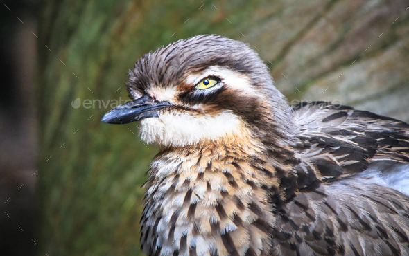 Bush Stone-curlew Up Close in Australia - Stock Photo - Images