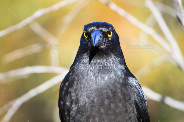 Black Currawong Up Close in Australia - Stock Photo - Images