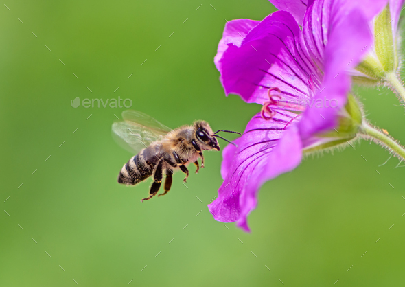 Bee flying to a purple geranium flower blossom - Stock Photo - Images