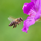 Bee flying to a purple geranium flower blossom - PhotoDune Item for Sale
