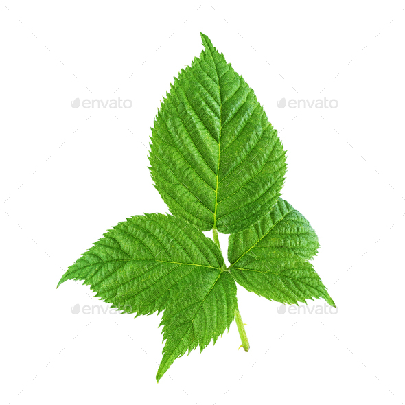 One raspberry green leaf isolated on white - Stock Photo - Images