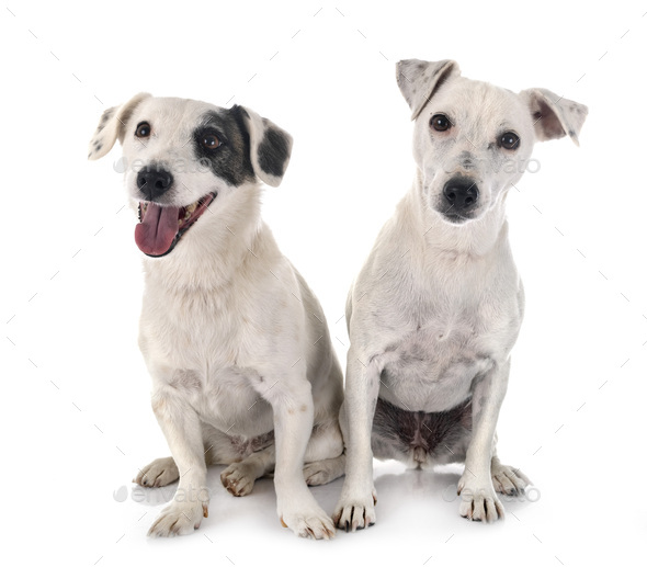 jack russel terriers - Stock Photo - Images