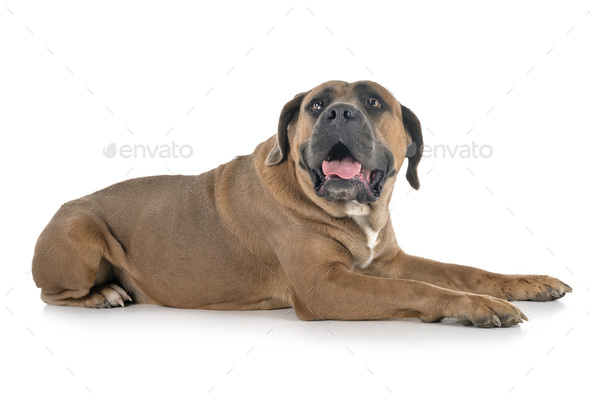 adult cane corso - Stock Photo - Images