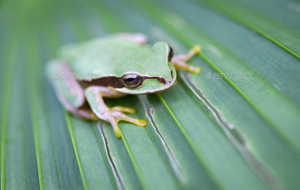 Masked Treefrog on a Leaf in Costa Rica - Stock Photo - Images