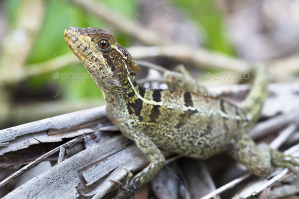 Striped Basilisk on the Forest Floor in Costa Rica - Stock Photo - Images