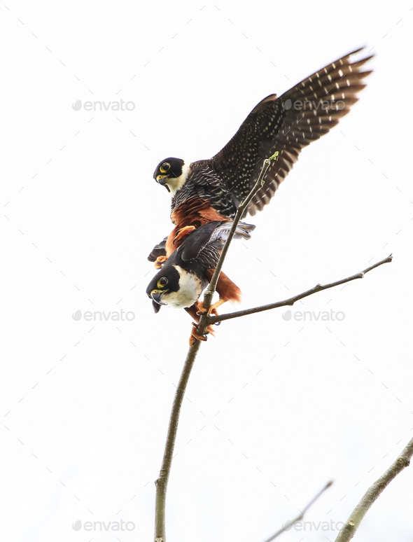 Pair of Bat Falcons Mating on Top of a Tree in Belize - Stock Photo - Images