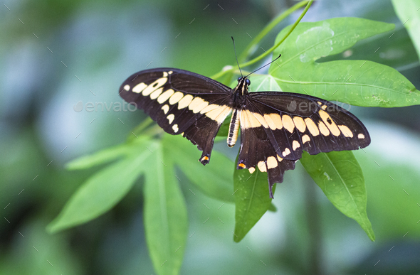 Thoas Swallowtail Butterfly in Costa Rica - Stock Photo - Images