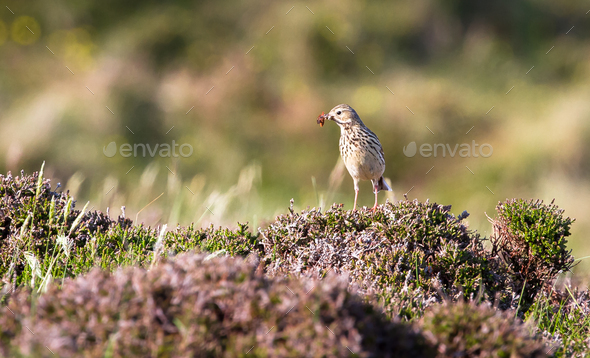 Meadow Pipit Bird in Scotland - Stock Photo - Images
