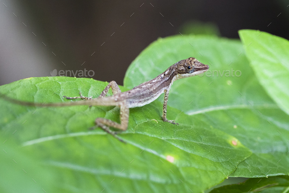 Slender Anole on a Leaf in Costa Rica - Stock Photo - Images