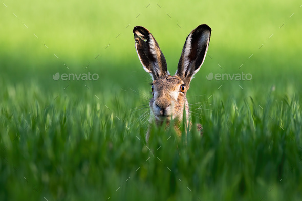 Close-up of brown hare, lepus europaeus, peeking out from green grass in nature - Stock Photo - Images