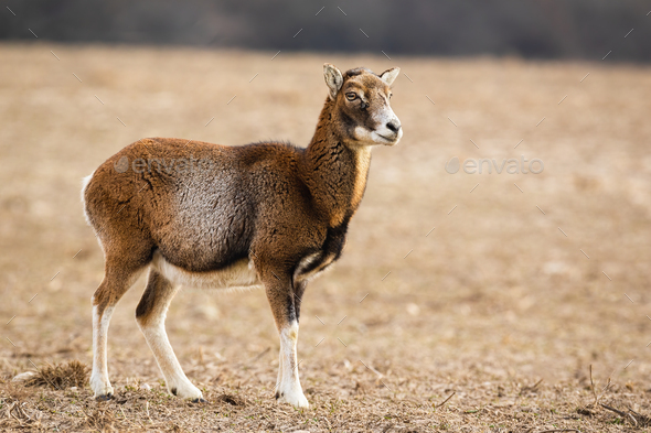 Female mouflon standing alerted on a meadow in winter looking aside - Stock Photo - Images