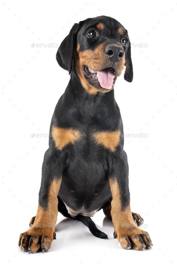 puppy Doberman Pinscher - Stock Photo - Images