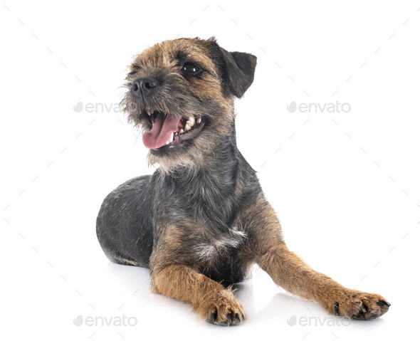 young border terrier - Stock Photo - Images