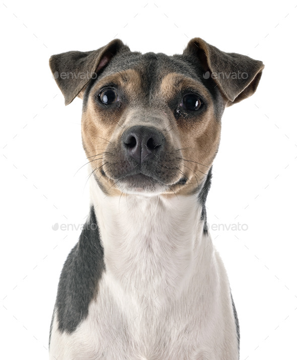 Brazilian Terrier in studio - Stock Photo - Images
