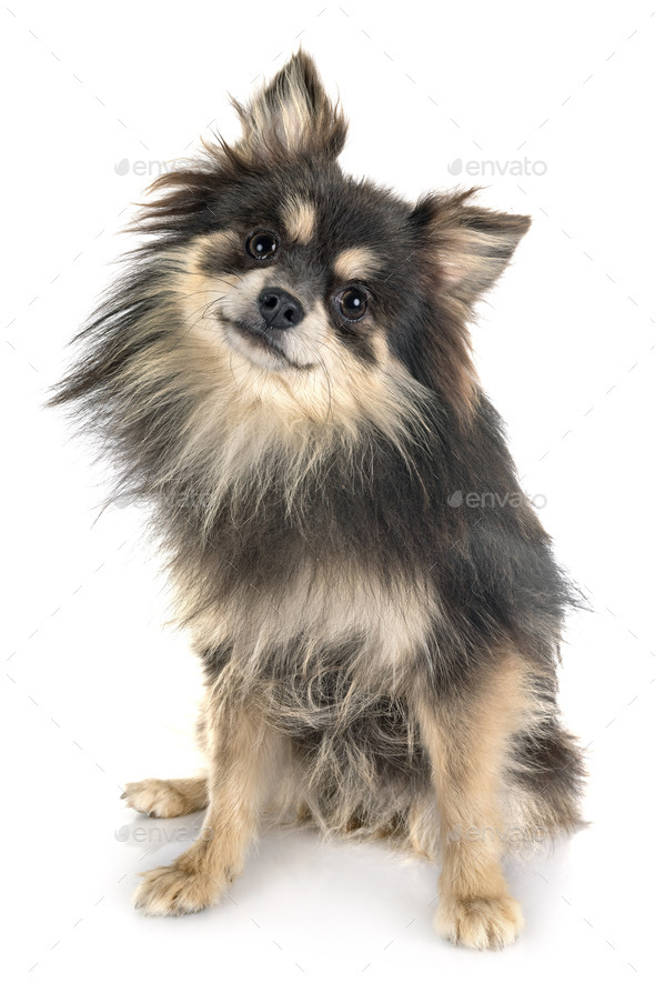young pomeranian in studio - Stock Photo - Images