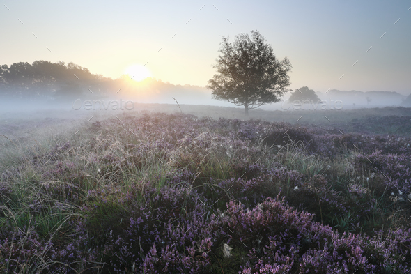 beautiful serene misty sunrise over heather flowers - Stock Photo - Images