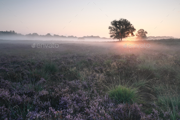 beautiful misty sunrise over blossoming heather in summer - Stock Photo - Images