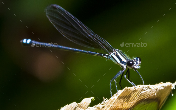 Damselfly in the Sunlight in Costa Rica - Stock Photo - Images