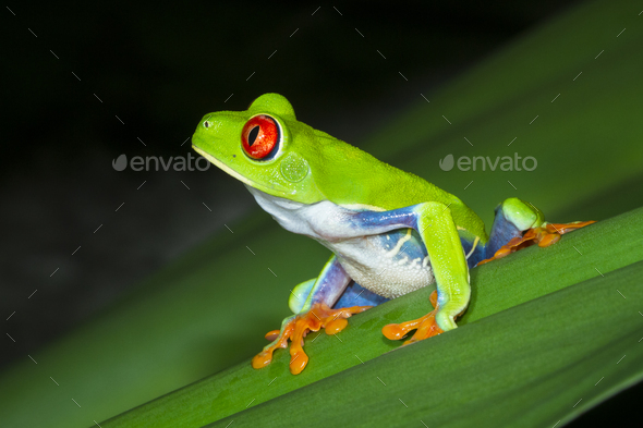 Red-eyed Treefrog on a Leaf at Night in Costa Rica - Stock Photo - Images