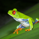 Red-eyed Treefrog on a Leaf at Night in Costa Rica - PhotoDune Item for Sale