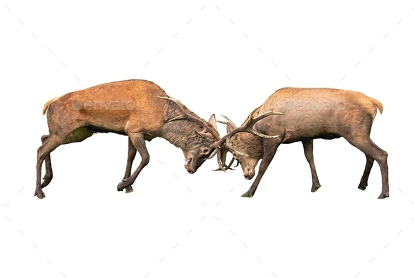 Red deer, cervus elaphus, fight during the rut isoalted on white background - Stock Photo - Images