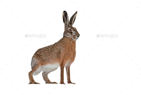 European brown hare isolated on white background - Stock Photo - Images
