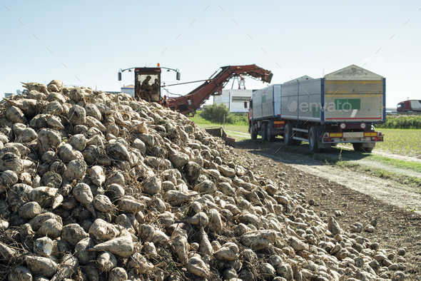 Machine harvest sugar beet. - Stock Photo - Images