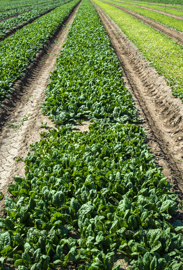 Spinach farm. Organic spinach leaves on the field. - Stock Photo - Images