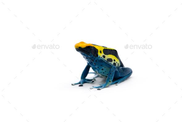 The blue poison dart frog isolated on white background - Stock Photo - Images