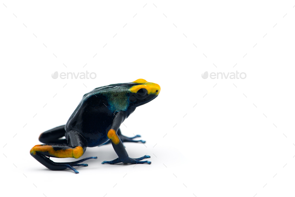 The blue poison dart frog isolated on white background - Stock Photo - Images
