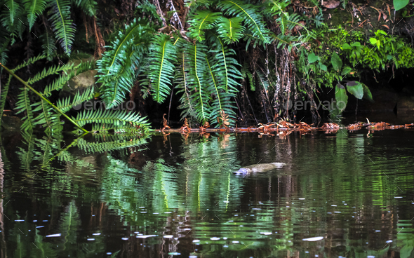 Duck-billed Platypus in the Water in Tasmania - Stock Photo - Images