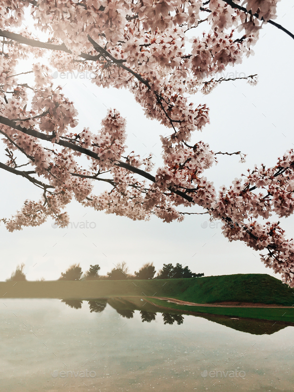 Cherry blossom tree and a lake - Stock Photo - Images