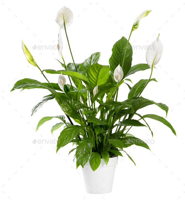 Potted Spathiphyllum plant with white flowers - Stock Photo - Images