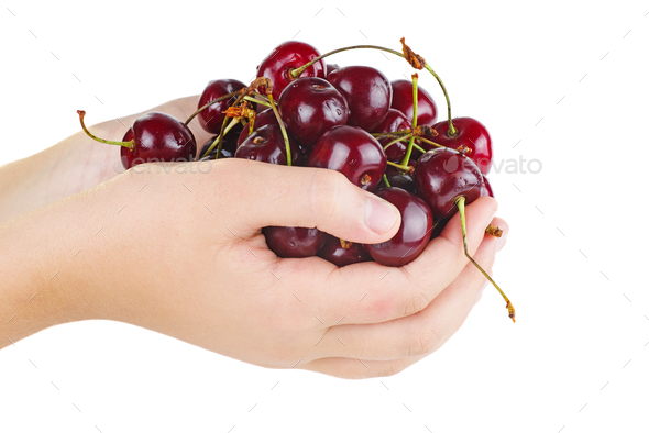 Hands hold ripe red cherries isolated on white background - Stock Photo - Images