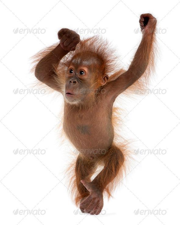 Baby Sumatran Orangutan, 4 months old, standing in front of white background - Stock Photo - Images