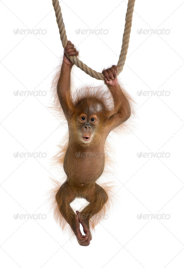 Baby Sumatran Orangutang (4 months old), hanging on a rope, studio shot - Stock Photo - Images