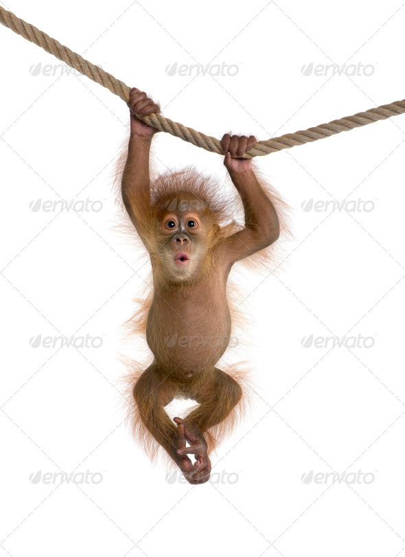 Baby Sumatran Orangutang (4 months old), hanging on a rope, studio shot - Stock Photo - Images