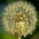 Dandelion Being Blowned Slow Motion - VideoHive Item for Sale