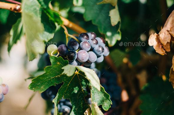 Beautiful green vineyard in Spain - Stock Photo - Images