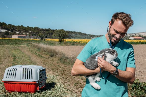 Veterinarian examining a bunny in a hay field - Stock Photo - Images