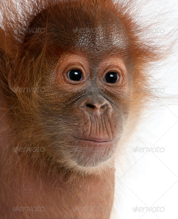 Close-up of baby Sumatran Orangutan, 4 months old, in front of white background - Stock Photo - Images
