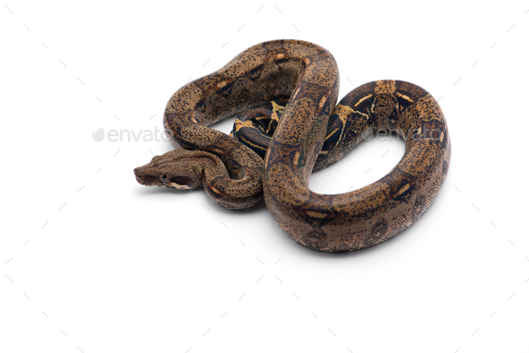 Red Tail Boa isolated on white background - Stock Photo - Images