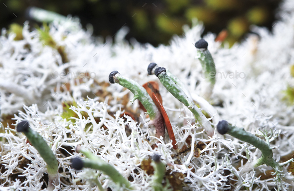 Green and Black Fruticose Lichen in New Zealand - Stock Photo - Images