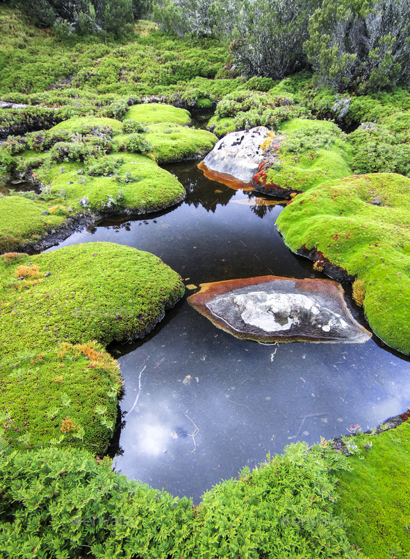 Cushion Plants in a Wetland in Tasmania - Stock Photo - Images