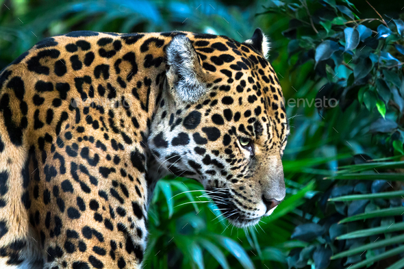 Jaguar Among Jungle Vegetation - Stock Photo - Images