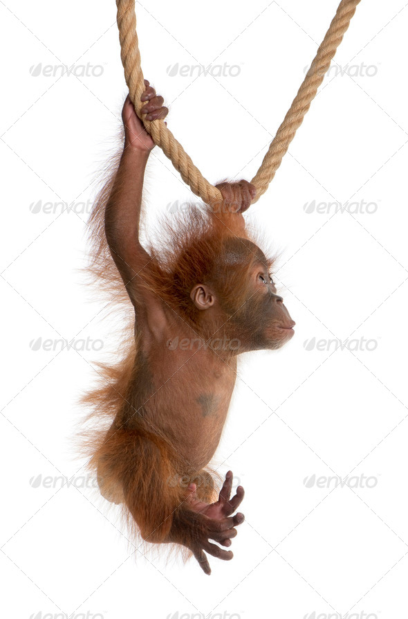 Baby Sumatran Orangutan, 4 months old, hanging from rope in front of white background - Stock Photo - Images