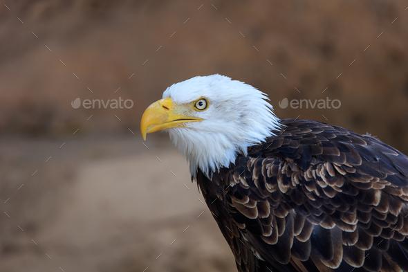 american bald eagle (haliaeetus leucocephalus) - Stock Photo - Images