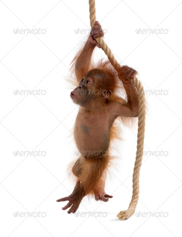 Baby Sumatran Orangutan hanging on rope, 4 months old, in front of white background - Stock Photo - Images