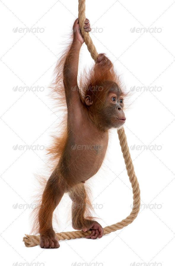 Baby Sumatran Orangutan, 4 months old, holding onto rope in front of white background - Stock Photo - Images