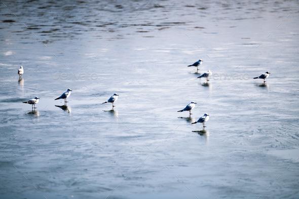 Flock of birds walking on frozen lake - Stock Photo - Images
